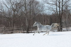 A gallop in the snow Stock Photos