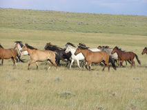 Gallop Spanish Mustangs Stock Photo