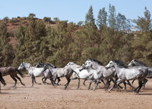 Gallop young andalusia. A herd of Andalusia horses galloping in southern spain Stock Photos