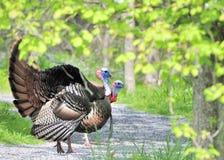 gallopavo通配meleagris的火鸡 库存照片