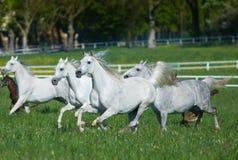 Gallopin arabian horses Stock Photography