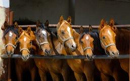 Gallopin arabian horses. Galloping arabian horses on the green pasture Stock Photography