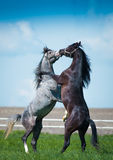 Gallopin arabian horses. Galloping arabian horses on the green pasture Royalty Free Stock Photo