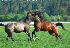 Gallopin arabian horses Royalty Free Stock Image