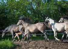 Gallopin arabian horses Royalty Free Stock Photography