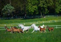 Gallopin arabian horses Stock Image
