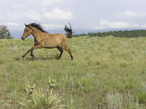 Galloping Royalty Free Stock Images