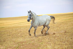 Galloping arabian horse. White arabian horse gallops in a golden field Stock Image