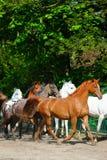 Galloping arabian horses Stock Photography