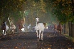 Galloping arabian horses. Gallop arabian horses on the village road Royalty Free Stock Image