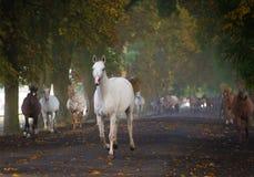 Galloping arabian horses Royalty Free Stock Image