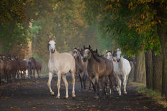 Galloping arabian horses. Gallop arabian horses on the village road Stock Photo