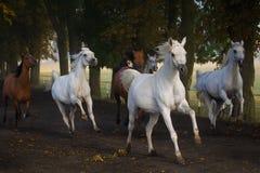 Galloping arabian horses Royalty Free Stock Photography