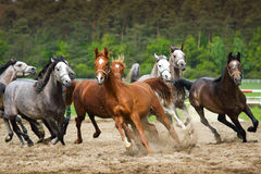 Galloping Arabian horses. Arabian horses galloping on the pasture royalty free stock photo