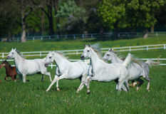 Galloping Arabian horses Royalty Free Stock Photos