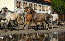 Galloping Arabian horses. Arabian horses galloping on the pasture Royalty Free Stock Images