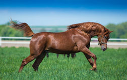 Galloping Arabian horses Stock Photos