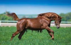 Galloping Arabian horses. Arabian horses galloping on the pasture Stock Photos