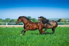 Galloping Arabian horses Stock Images