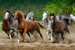Galloping Arabian horses. Arabian horses galloping on the pasture stock photography