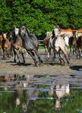 Galloping arabian horses on the wet pasture Stock Photos