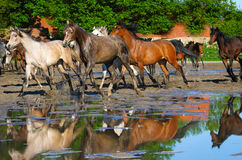 Galloping arabian horses on the wet pasture Royalty Free Stock Photos