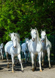 Galloping arabian horses Stock Images