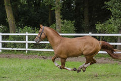 Galloping Arabian-MixFreiberger. Freiberger stallion, galloping over the willow Stock Photography