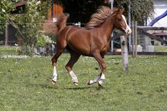 Galloping Arabian stallion. In a pasture Stock Images