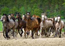 Galloping  arabian stallions. On the pasture Royalty Free Stock Images