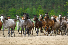 Galloping  arabian stallions Stock Photo
