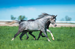 Galloping  arabian stallions. On the pasture Royalty Free Stock Photo