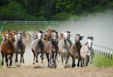 Galloping  arabians stallions Stock Photo