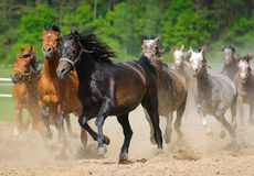 Galloping  arabians stallions Royalty Free Stock Photos