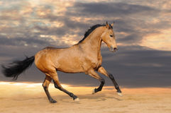 Galloping bay horse Stock Image