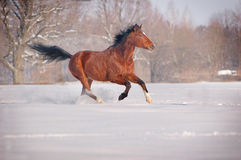 Galloping bay horse Royalty Free Stock Images