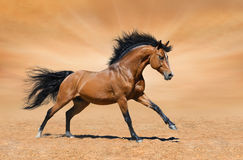 Galloping bay stallion on gold background. Galloping bay horse on gold background Royalty Free Stock Photos