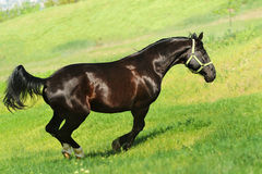 Galloping black horse. In summer filed Royalty Free Stock Photography