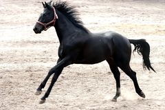 Galloping Black Stallion Stock Photos