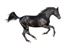 Galloping black stallion isolated on white Royalty Free Stock Image
