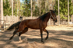 Galloping brown horse Stock Photography