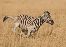 Galloping Burchell's zebra. Stocky and horselike; black and white stripes with shadow stripes superimposed on white stripes; stripes extend on to under parts Royalty Free Stock Image