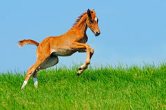Galloping chestnut foal in summer field royalty free stock photo