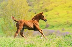 Galloping chestnut foal in summer field Stock Image