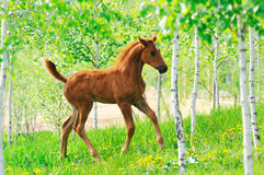Galloping chestnut foal in summer field Royalty Free Stock Image