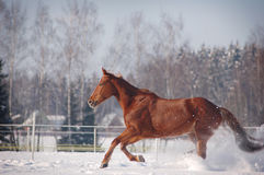 Galloping chestnut horse Royalty Free Stock Photo