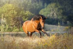 Galloping chestnut horse in the sunset. Portrait of a chestnut horse galloping in a meadow in a summer sunset royalty free stock photo
