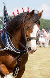 Galloping Clydesdale horse. Portrait stock photography