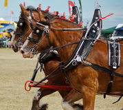 Galloping Clydesdale horses Royalty Free Stock Images