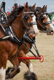 Galloping Clydesdales. Galloping Clydesdale horses pulling a carriage Stock Image